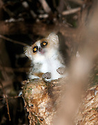 A Reddish Grey Mouse Lemur in the Berenty Reserve, Madagascar