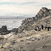 Adelie Penguins, the wood pieces on the ground are the remains of crates of stores that were unloaded from the Nimrod at this location.