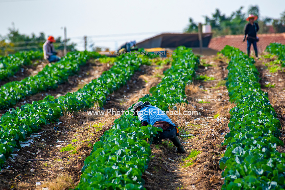 Thai migrant agricultural workers work in a field Photographed in Israel