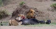 Pair of lions with a fresh kill close to Mara River, Maasai Mara, Kenya.