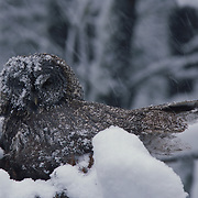 Adult great gray owl keeping chicks warm in nest in late spring snowstorm in Montana.