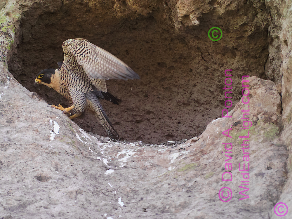 Adult peregrine falcon at cave she has selected for an eyrie, © David A. Ponton [photo by motion-activated camera, low-resolution limits repro. size]