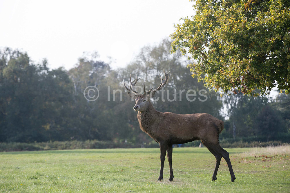 A Stag in Richmond park on 4th October 2015 in London, United Kingdom. Situated in the London Borough of Richmond upon Thames, Richmond Park was created by Charles I in the 17th century as a deer park. It's the largest park of the London's eight Royal Parks and covers an area of 2500 acres.