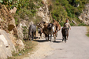 Horses laden with sacks of produce, on the way to the market with local farmers near Manali Village, Kullu Valley Himachal Pradesh, India