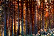 Dense pine forest at sunset