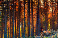 Dense pine forest at sunset