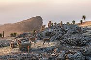 Äthiopische Steinböcke (Capra walie) und Dscheladas (Theropithecus gelada) in der Nähe der Felswände, wo sie im Schutz die Nacht verbringen werden, Simien Nationalpark, Debark, Region Amhara, Äthiopien<br /> <br /> Ethiopian ibex (Capra walie) and jeladas (Theropithecus gelada) near the rock faces where they will spend the night in shelter, Simien National Park, Debark, Amhara Region, Ethiopia