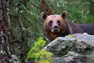 Eurasian Brown bear, Ursus arctos, male, Järbo, Sweden