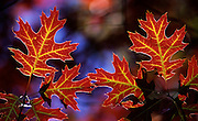 Scarlet Oak Leaves in Fall - Smoky Mountains N.P.
