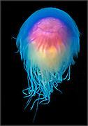 Blue Jellyfish (Cyanea lamarckii) photographed in the Farne Islands, United Kingdom, North Sea