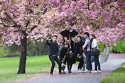 © Licensed to London News Pictures. 30/04/2018. London, UK. A group of tourists with umbrellas take a selfie photograph under cherry blossom trees during wet and windy weather in Greenwich Park in London. The capital has been experiencing heavy rain and windy weather today. Photo credit: Vickie Flores/LNP