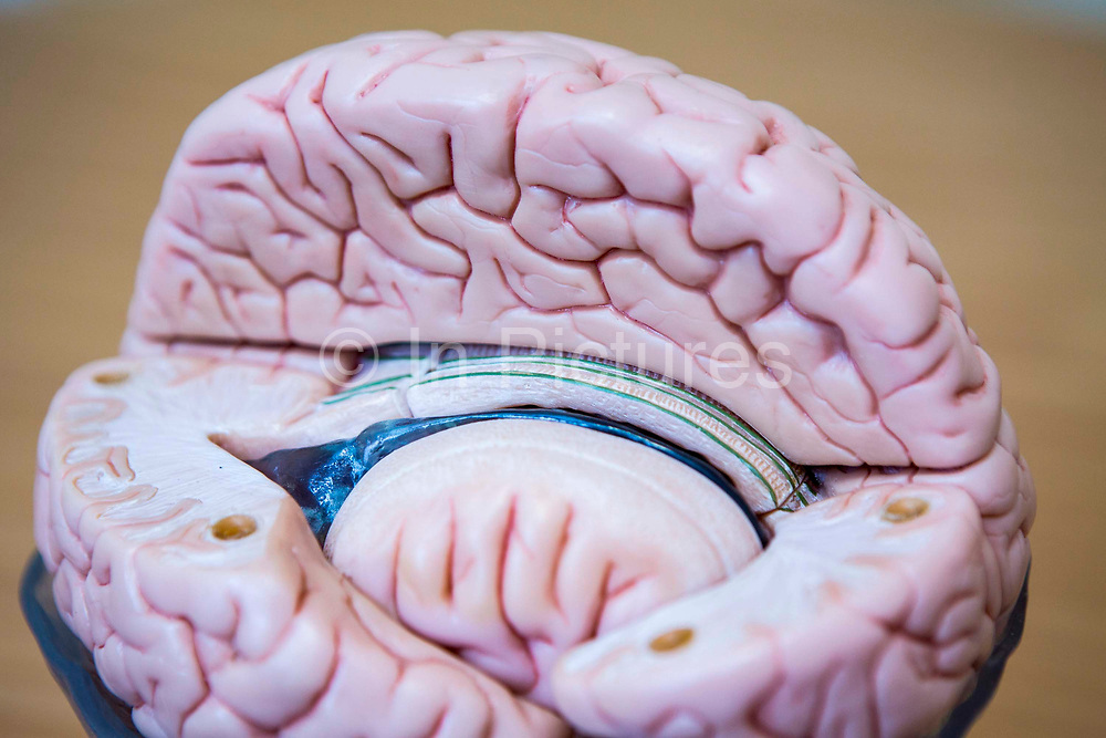A cross-section model of a human brain showing the inner and outer components of the cerebellum.