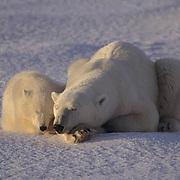 Polar Bear, (Ursus maritimus) Mother and cub sleeping. Churchill, Manitoba. Canada.