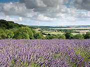 The landscape of Yorkshire Lavender on 9th August 2017 in Howardian Hills AONB, United Kingdom. Yorkshire Lavender is a family-run lavender farm, gardens and specialist plant nursery within the Howardian Hills Area of Outstanding Natural Beauty. They sell their own lavender products made using the oil distilled from the lavender grown on the farm.