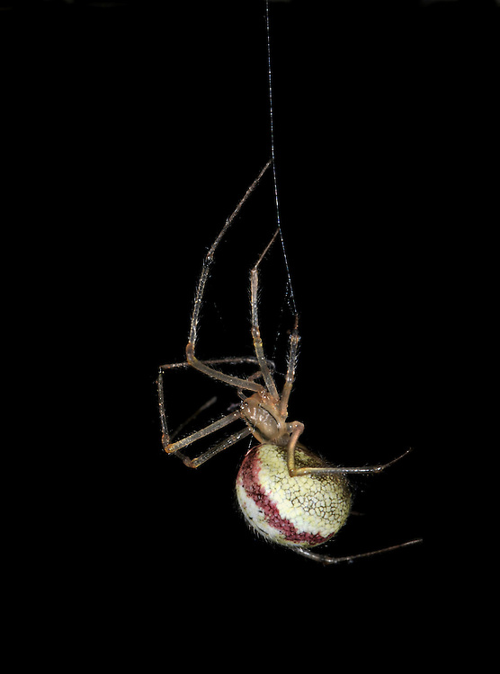 Comb-footed Spider - Enoplognatha ovata