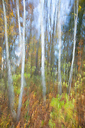 Birch trees on a windy fall day.