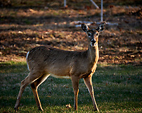 Young Deer. Image taken with a Fuji X-T2 camera and 100-400 mm OIS lens (ISO 200, 400 mm, f/5.6, 1/160 sec).