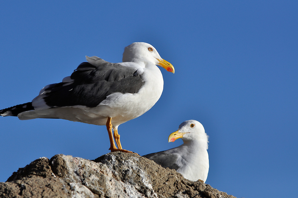 Seagulls, Loreto Bay National Park, Baja California, Mexico.
