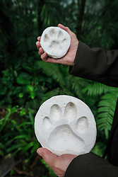 Comparison of mountain lion and jaguar tracks, Nectandra Cloud Forest Garden, Costa Rica.