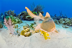 nurse shark, Ginglymostoma cirratum, feeding on grunt, Key Largo, Florida Keys National Marine Sanctuary, Florida, USA, Caribbean Sea, Atlantic Ocean
