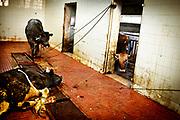 Tre kalve gøres klar til slagtning. Alle dyrene væltes og halah slagtes derefter en af gangen.