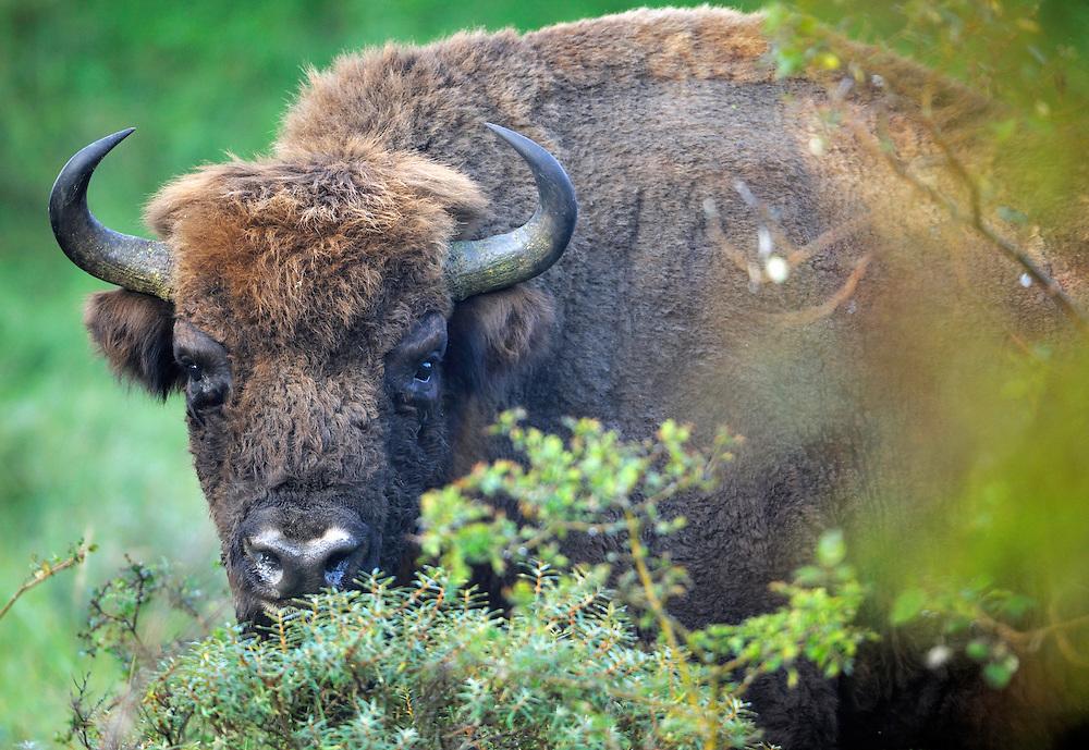 Bison (Bison bonasus), Kennemerduinen National Park, Kraansvlak, The Netherlands. Enclousure in a fenced reserve, 250 hectar, in Kennemerduinen National Park.