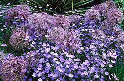 Allium cristophii and Linum narbonense in the gravel garden