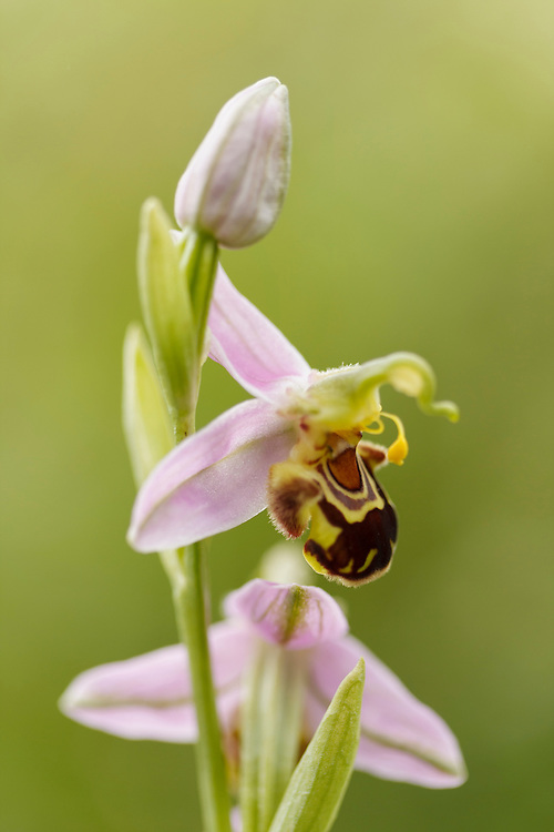 Bee Orchid close up, with flower buds
