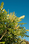Mahonia japonica Height to 2m. Widely cultivated shrub. Native to northeast China but widely planted elsewhere for its ornamental value. Leaves are pinnate and glossy green. Flowers are yellow and scented; borne in inflorescences up to 20cm. Long. Fruits are black and berry-like.
