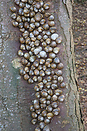 Garden Snail - Cornu aspersum Hibernating in Norfolk Woodland