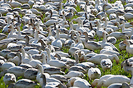 Snow Geese (Chen caerulescens) flock eating while wintering gather close together for protection from predators at Fox Island, Skagit River Delta, WA, USA
