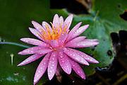 Pink water lily Nymphaea caerulea