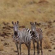 Burchell's Zebra, (Equus burchelli) Portrait of adults.Serengeti Plains.Masai Mara Game Reserve. Kenya. Africa.