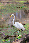 Long-legged Great Egret bird, Ardea alba, standing on one leg over swamp in the Florida Everglades, United States of America