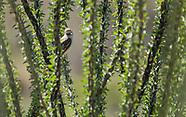 Cassin's Kingbird, Tyrannus vociferans