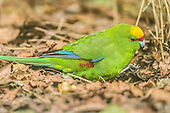 Yellow-crowned Parakeet Pictures - Photos