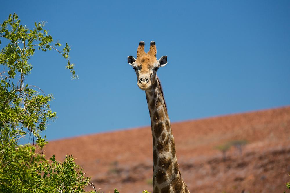 desert-adapted giraffe, desert Rhino Camp, Etendeka Mountains, Palmweg Concession, Damaraland, Namibia