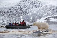 Polar bear (Ursus maritimus) feeding on dead whale with tourist zodiac watching, Svalbard, Norway.