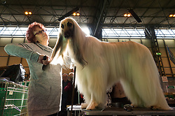 © Licensed to London News Pictures. 09/03/2017. Dog owner grooms and prepares her Afghan Hound dog for competition on the first day of Crufts, the world's largest dog show. The annual event is organised and hosted by the Kennel Club and has been running since 1891. Birmingham, UK. Photo credit: Ray Tang/LNP