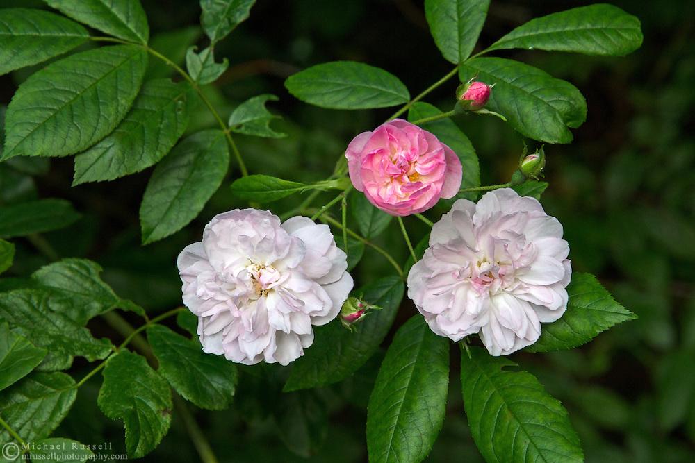 Dentelle de Malines shrub rose flowers