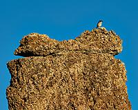 Bird on a Tufa. Mono Lake, South Tufa Area. Image taken with a Nikon D3 camera and 200 mm f/2 lens + 2.0 TCE (ISO 200, 400mm, f/8, 1/1000 sec).