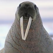 Walrus (Odobenus rosmarus) female resting on an ice chunk off of Baffin Island, Canada.