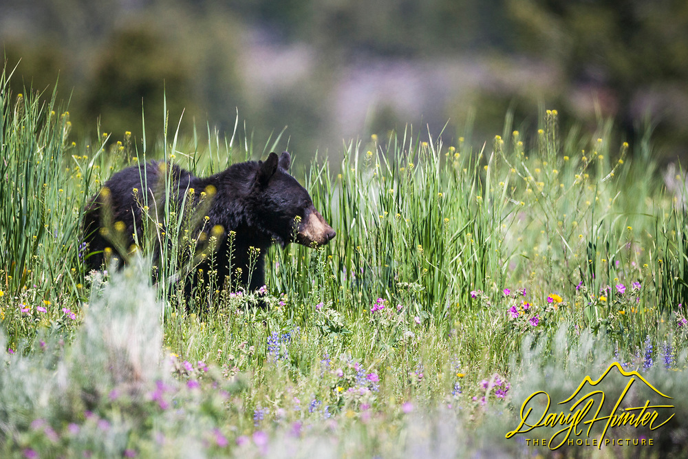 A black bear walking through the wildflowers in Yellowstone National Park