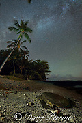 a Hawaiian green sea turtle or honu, Chelonia mydas, rests on the beach at night as the stars of the Milky Way fill the night sky above tall coconut palms at Puako, South Kohala, Hawaii Island ( the Big Island ), Hawaii, U.S.A. ( Central Pacific Ocean )