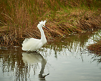 Snowy Egret. Black Point Wildlife Drive, Merritt Island National Wildlife Refuge. Image taken with a Nikon D3s camera and 70-200mm f/2.8 lens with a 2.0 TC-E III teleconverter (ISO 200, 400 mm, f/8, 1/200 sec).