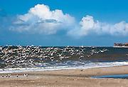 Seagulls Flying Over Capistrano Beach