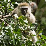 Vervet Monkey (Cercopithecus aethiops) Masai Mara Game Reserve. Kenya. Africa.