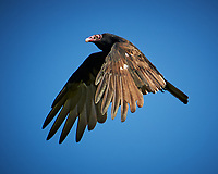 Turkey Vulture in flight. Image taken with a Nikon D3s camera and 80-400 mm VR lens.