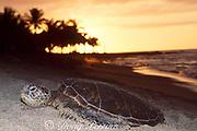 juvenile green sea turtle, Chelonia mydas, basking on beach at Kahuwai Bay, between Kona Village and 4 Seasons Resort, at sunset, Kona, Hawaii ( the Big Island ), USA ( Central Pacific Ocean )