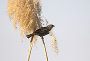 An adult female house sparrow (Passer domesticus) at the edge of the River Nile busy gathering pampas grass for nesting material. Crocodile Island. Luxor. Egypt